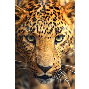 Quadro Canvas Leopardo   Homemania